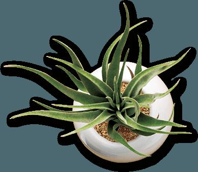 BOANA 植物